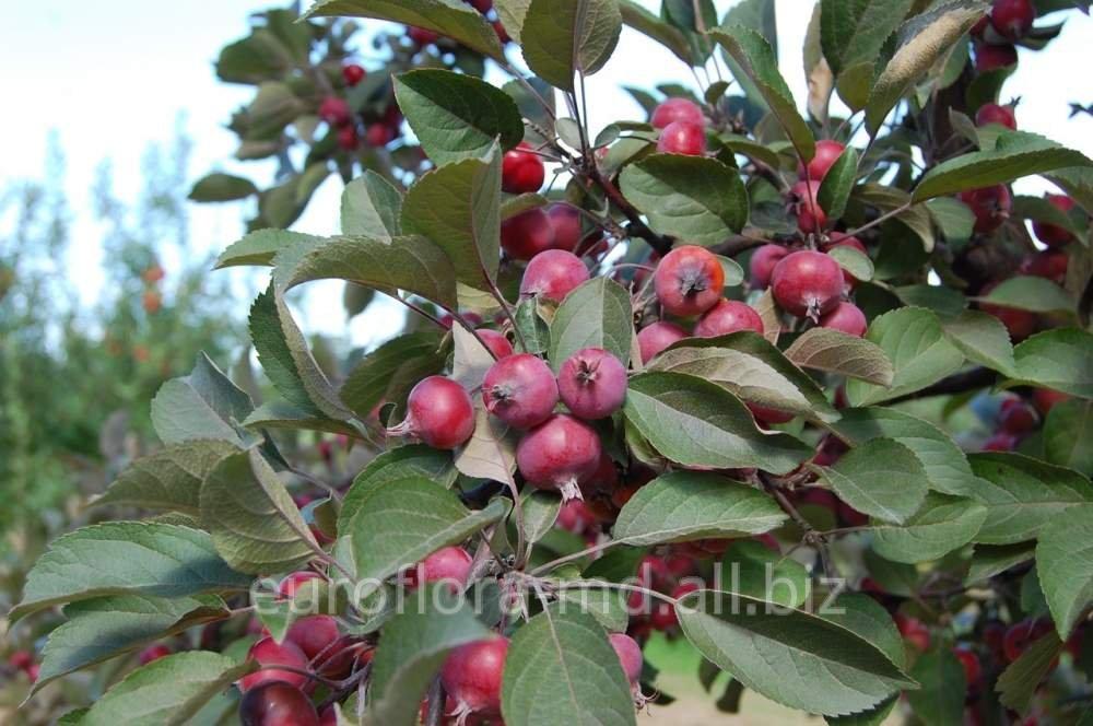 Купить Яблони Райские в Молдове