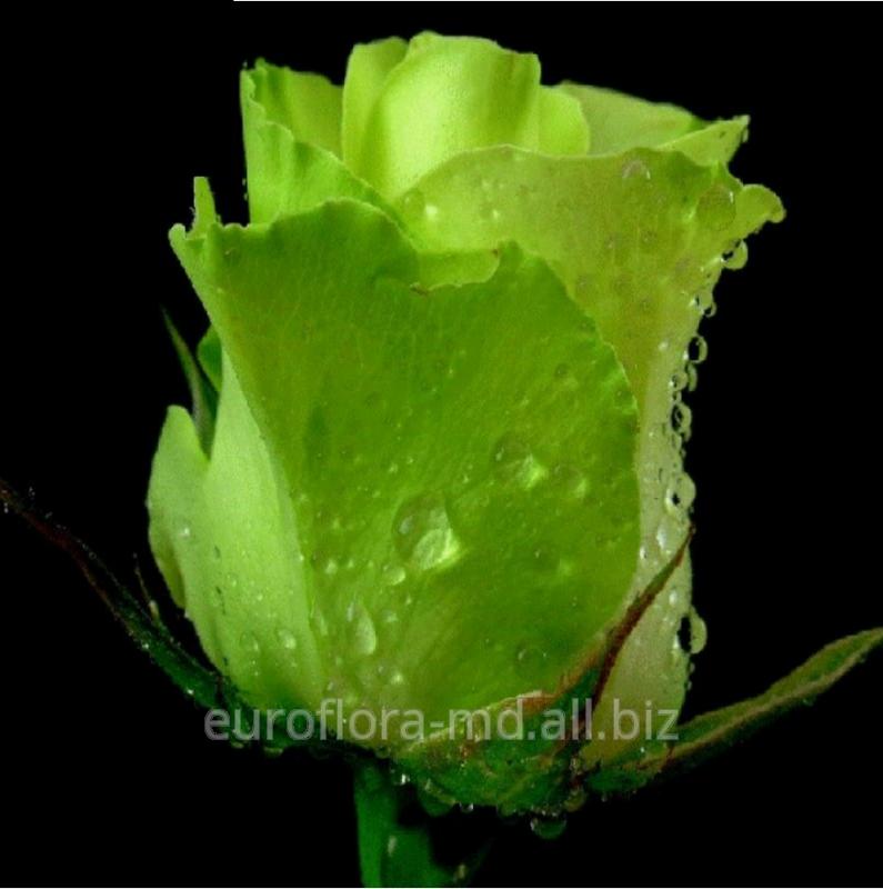 Купить Саженцы роз Зеленного цвета