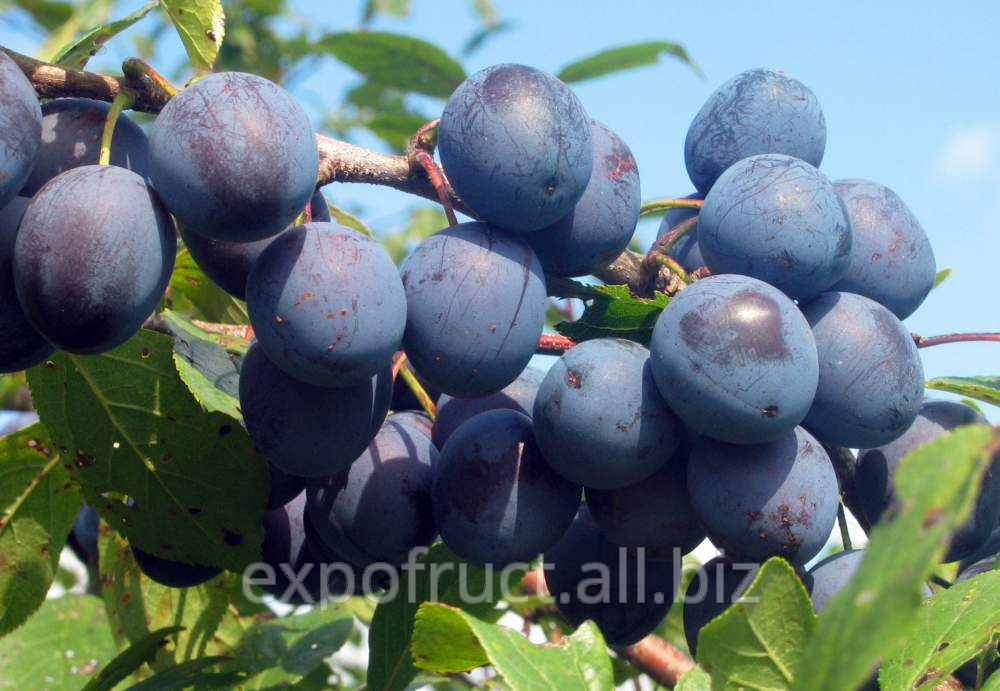 Buy Plums stenly