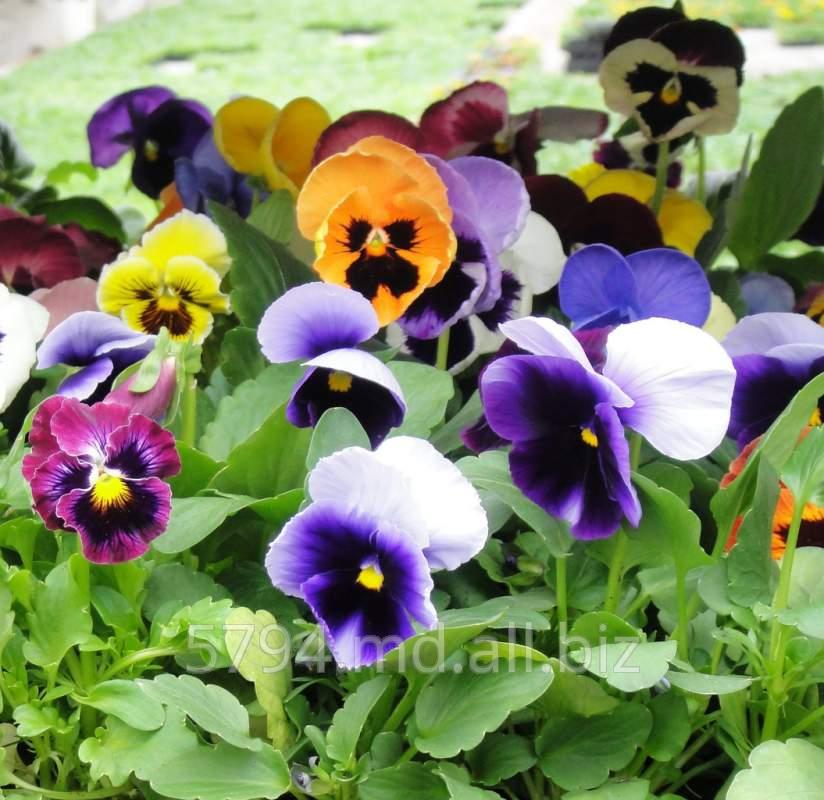 Купить Рассада цветов