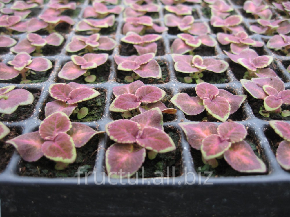 Купить Răsaduri de flori din seminţe