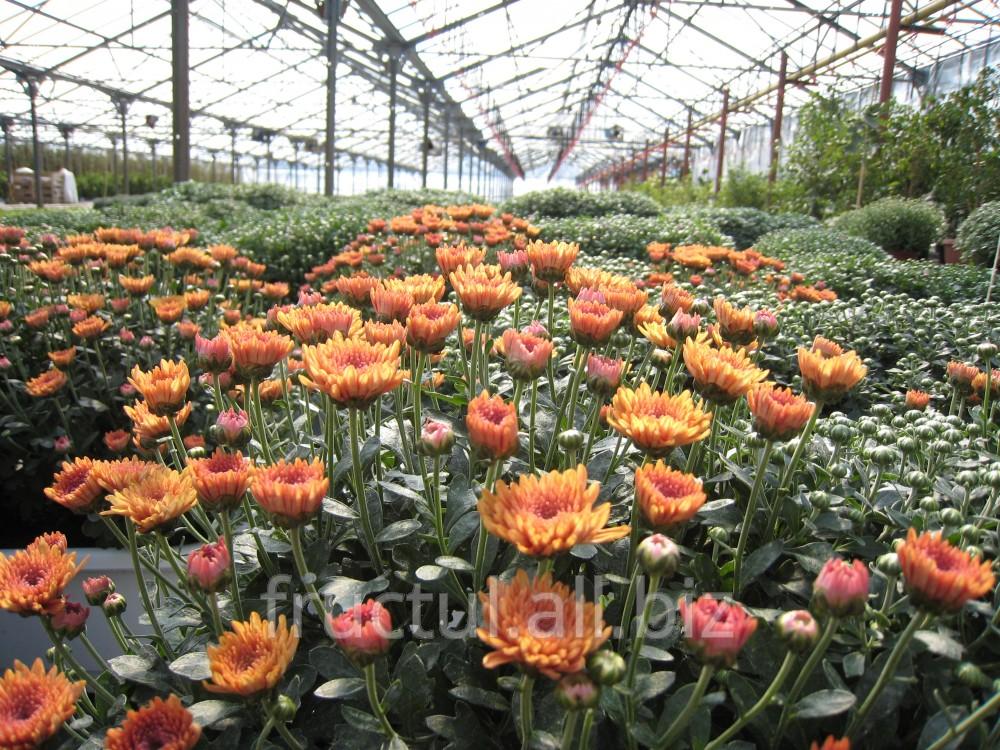 Купить Crizanteme/Хризантема