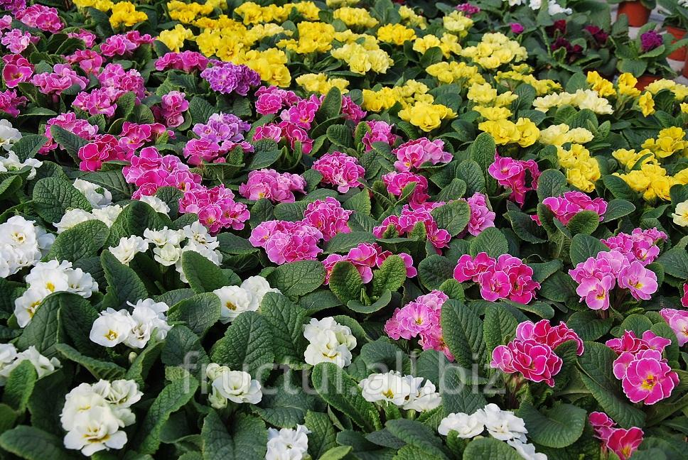 Купить Primula/Примула