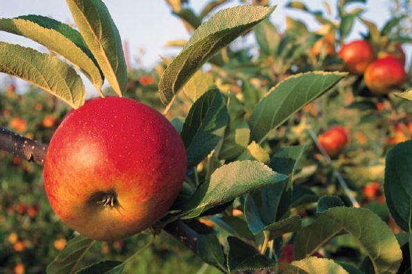 Купить Яблоки летние