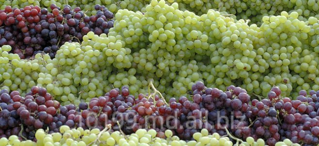 Купить Виноград разных сортов,Виноград Молдова