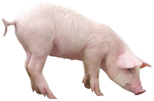 Buy Pigs wholesale in Moldova