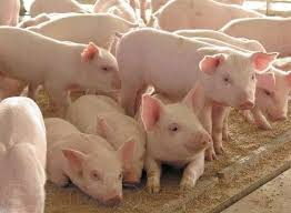 Buy Pigs price Moldova