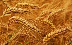 Купить Пшеница