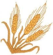 Купить Пшеница обыкновенная