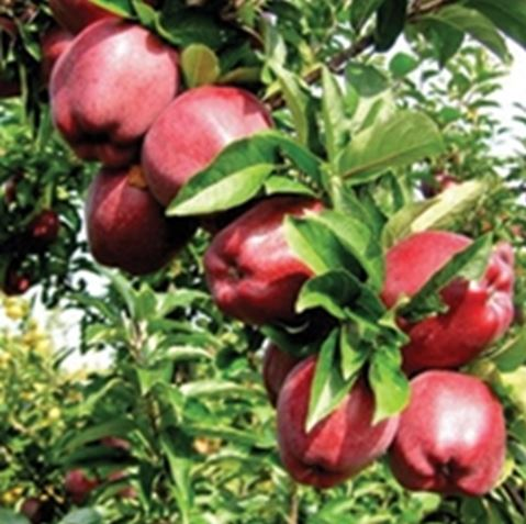 Puieti, altoiuri si poltaltoiuri  fructiferi din Franta