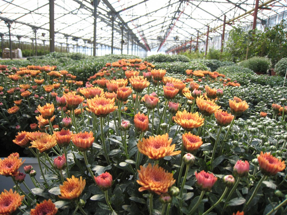 Купить Crizanteme