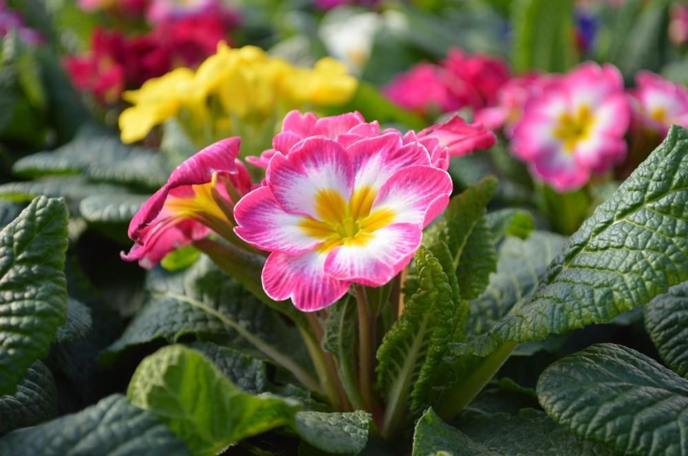Купить Primula
