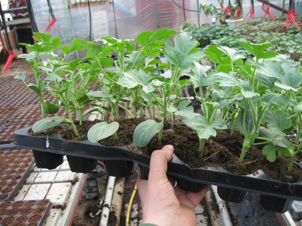 Купить Răsad de legume altoite