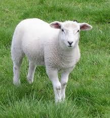 Купить Овцы племенные