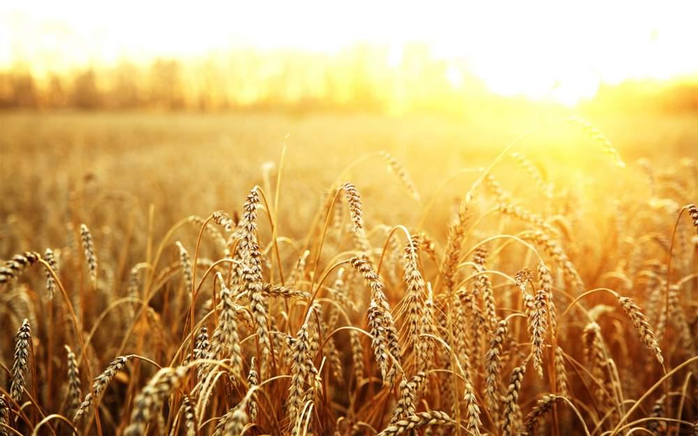 Купить Пшеница в Молдове