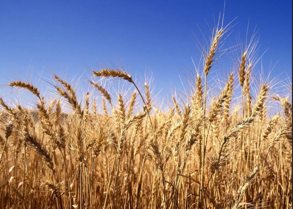 cumpără Perene de grâu