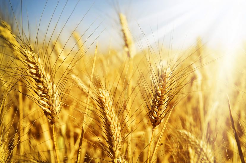 Buy Wheat ordinary