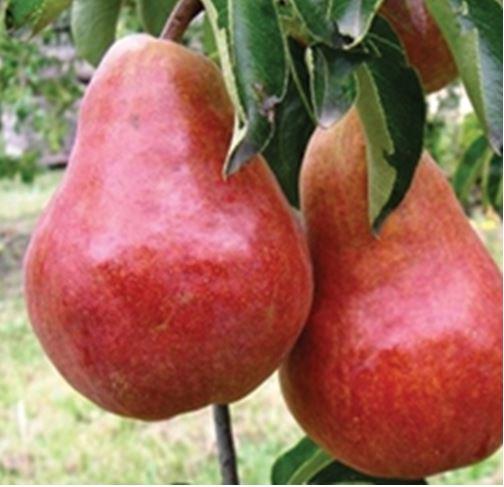 Puieti de pomi fructiferi pere