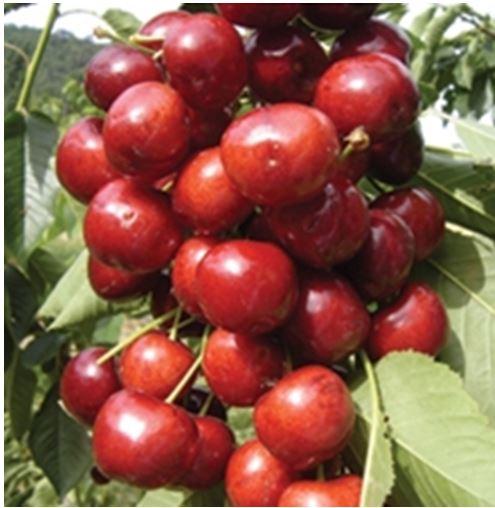 Puieti de pomi fructiferi cirese