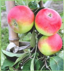 Купить Яблоки летние Эрли Женева