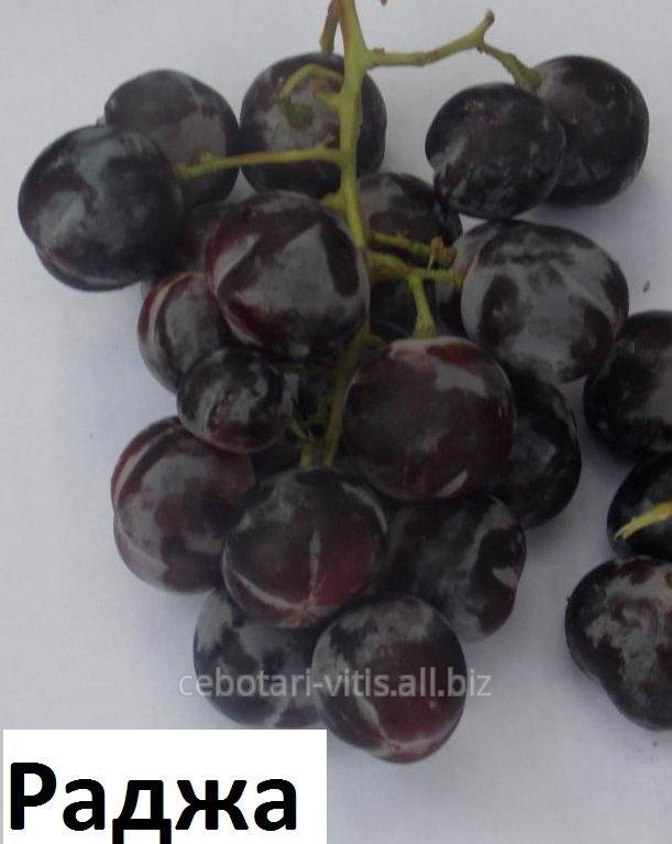 Купить Саженцы винограда Раджа