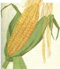 Купить Кукуруза фуражная