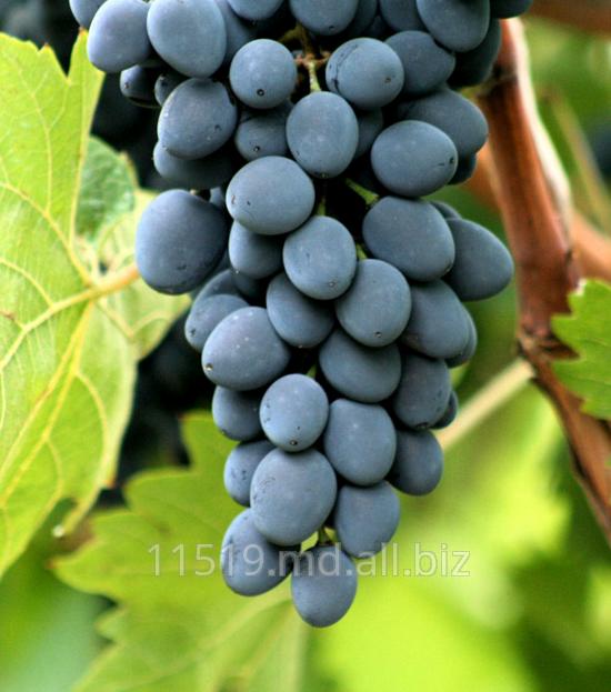 Купить Виноград сорт Молдова