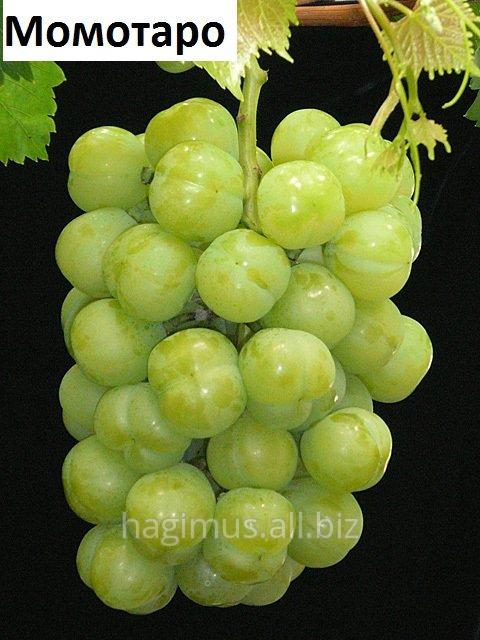 Купить Саженцы винограда сорта Момотаро (Сэто гигант)