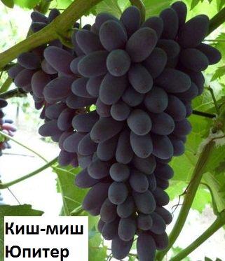 Купить Саженцы винограда сорта Киш-Миш юпитер