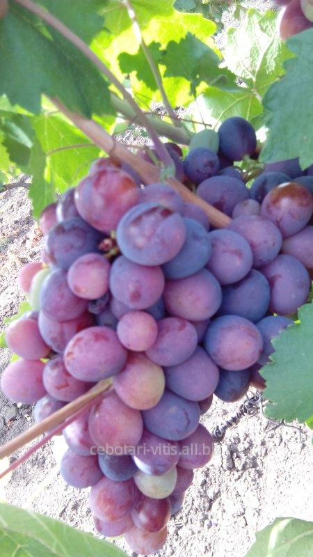 Купить Саженцы винограда сорта Забар