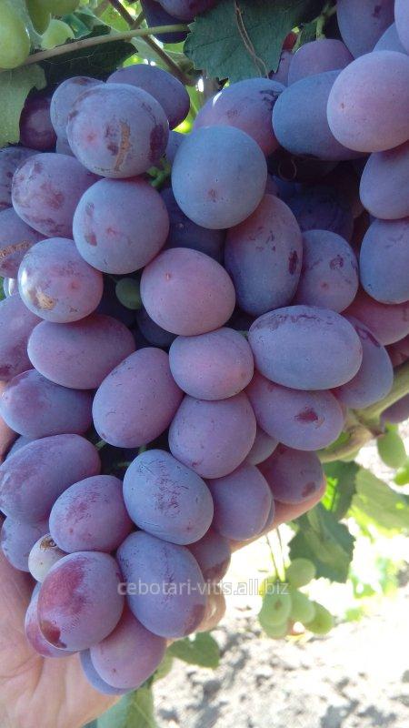 Купить Саженцы винограда сорта Граф Монте Кристо