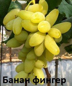 Купить Саженцы винограда сорта Голд Фингер