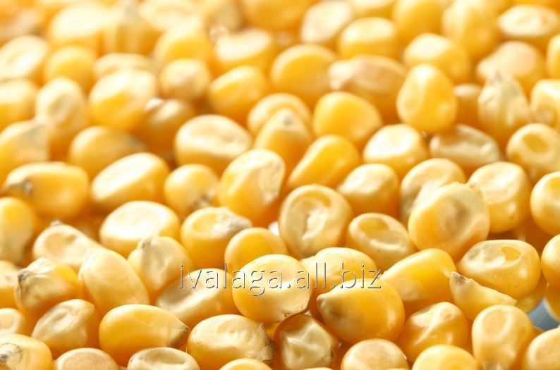 Buy Corn fodder in Moldova