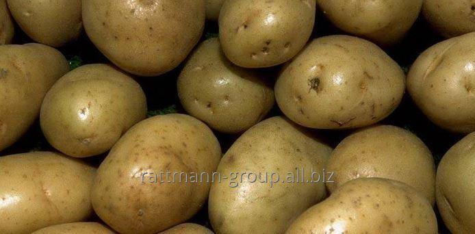 Семена картофеля в Молдове, Пушкинец