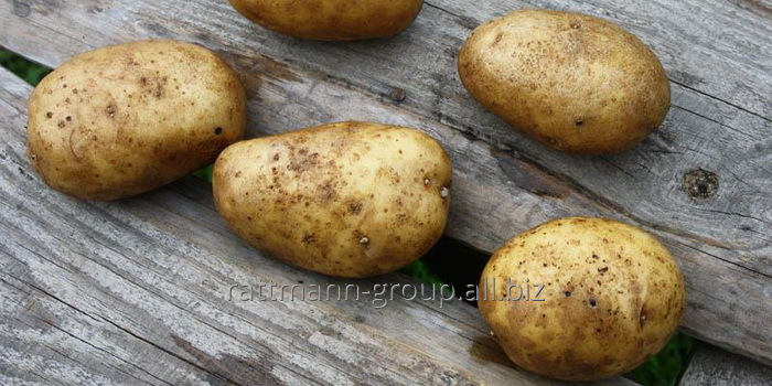 Семена картофеля в Молдове, Чайка