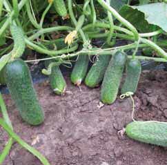 cumpără Seminte de castravete