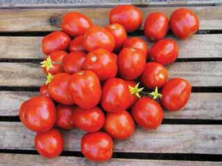 Семена Томатов ЛампО F1 ( для переработки )