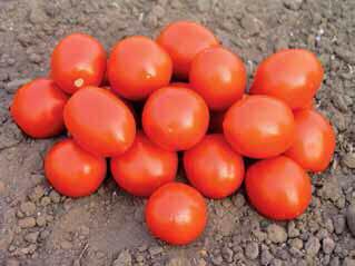Семена Томатов Ред Скай F1 ( для переработки )