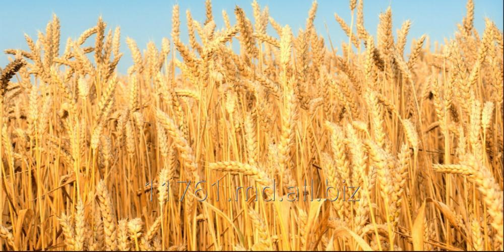 Купить Пшеница.