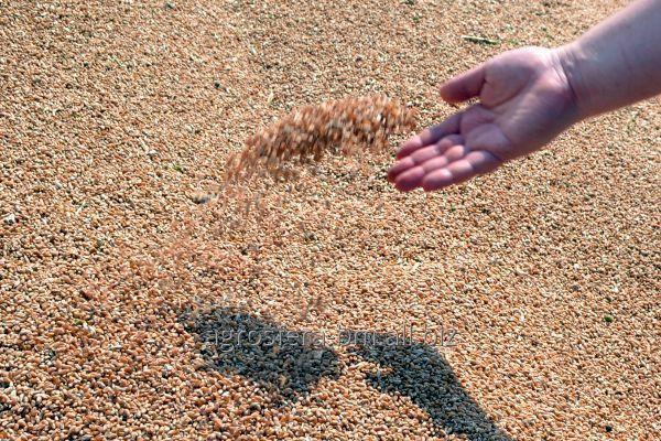 Пшеница фуражная на Экспорт Молдова