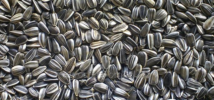 Buy Sunflower seeds from AGROSFERA-BM
