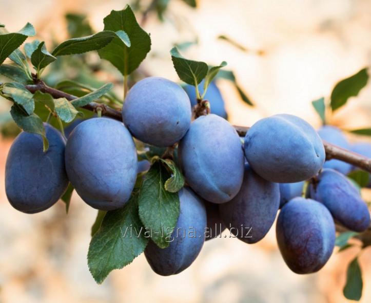 Купить Сливы(prune)