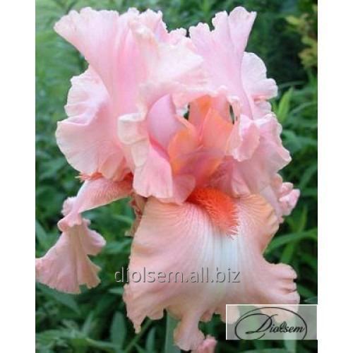 Луковицы ирисов Pink Tafette 10387