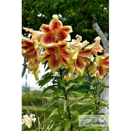 Луковицы Лилия Holland Beauty 10143