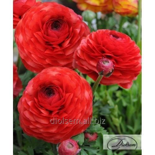 Луковицы ранункулюс Red 12404