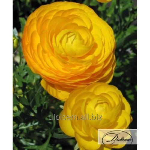 Луковицы ранункулюс Yellow 12401
