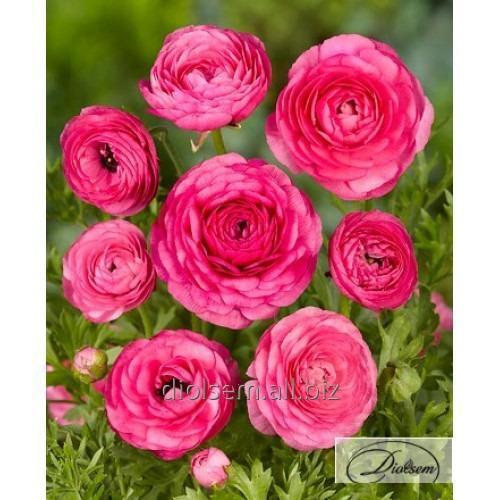 Луковицы ранункулюс Pink 12400