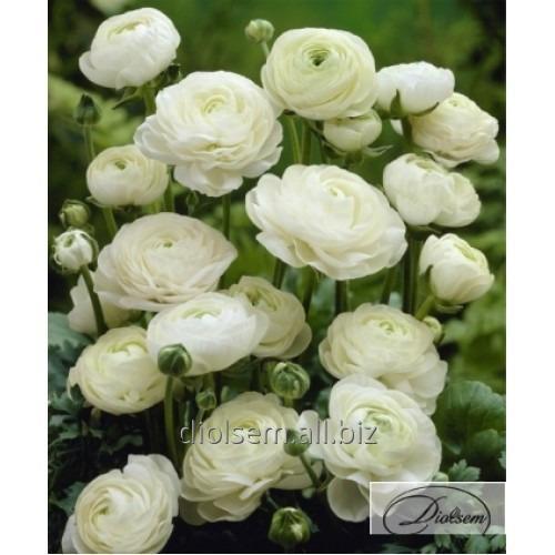 Луковицы ранункулюс White 12402