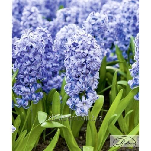 Луковицы гиацинтов Delft Blue 37182
