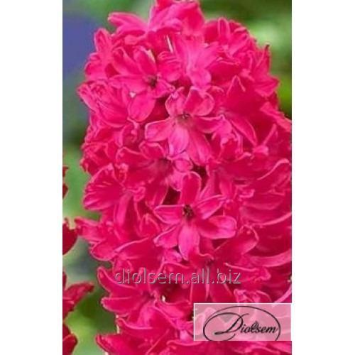 Луковицы гиацинтов Violet Pearl 12308